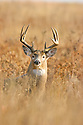 00274-304.10 White-tailed Deer Buck (DIGITAL) with large 11 pt. antlers is in tall grassy habitat during fall.  V4R1