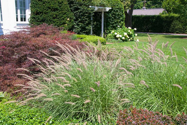 Pennisetum ornamental grass maple acer plant flower for Ornamental japanese grass