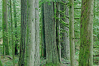 Medium perspective of a grouping of evergreen tree trunks in the Nisqually Rainforest, Mount Rainier National Park, Washington State.....Photographed on digital media.