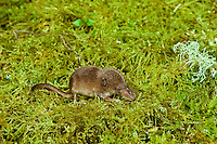 Immature Shrew (Sorex sp).  Pacific Norwest.  Spring.