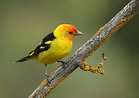 A bright male western tanager shows off his colors as he patrols his breeding territory.<br />