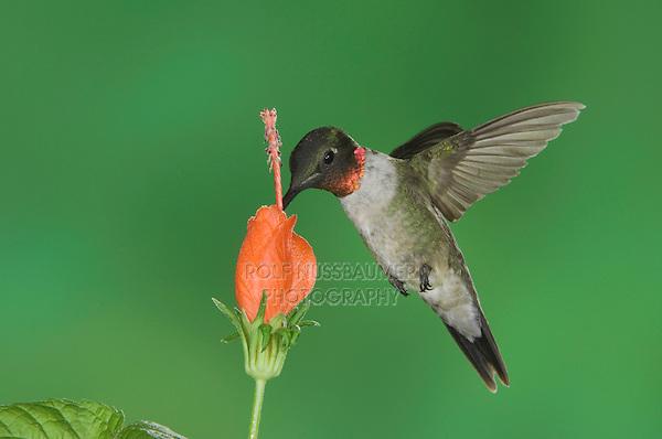 Ruby-throated Hummingbird, Archilochus colubris, male in flight feeding on Turk's Cap (Malvaviscus drummondii) , Willacy County, Rio Grande Valley, Texas, USA