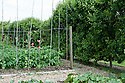 Sweet peas and potatoes in a kitchen garden bordered by a row of espalier apple trees, early June.