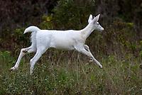 White deer, 2012
