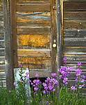 Teton County, Montana:<br /> Purple flowers of a money plant (Lunaria annua) blooming next to a weathered wall