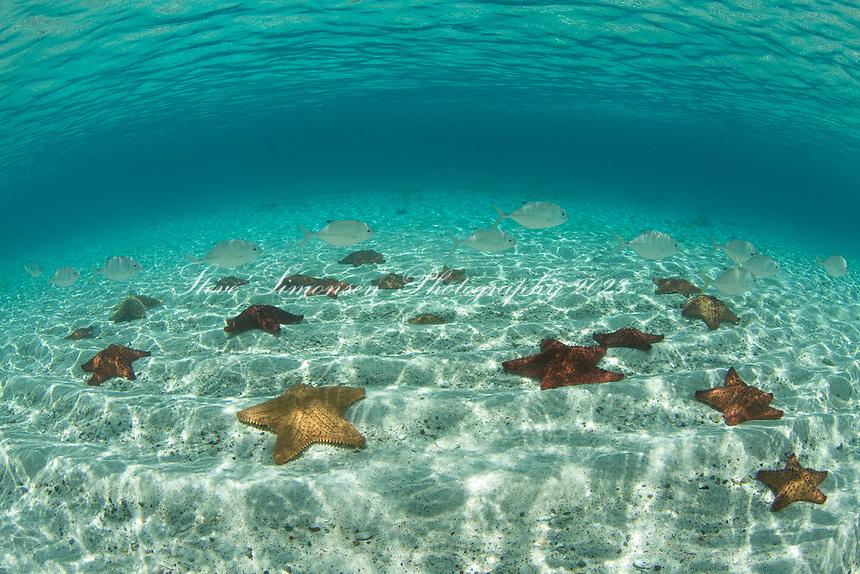 Pincushion Starfish<br /> St. Joh<br /> US Virgin Islands