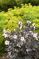 Dahlias Happy Kiss Single series with white flowers and dark purple foliage, against yellow Euphorbia