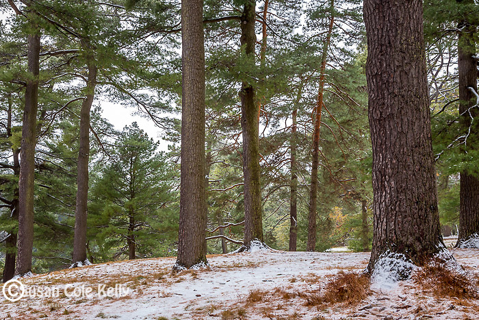 Snowy pines at the Arnold Arboretum in the Jamaica Plain neighborhood, Boston, Massachusetts, USA