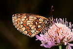 Knapweed Fritillary Butterfly, Melitaea phoebe, on scabious flower head, Provence.France....