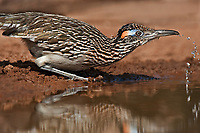 576010047 a wild greater roadrunner geocoyccx claifornianus drinks from a pond on santa clara ranch hidalgo county rio grande valley texas united states