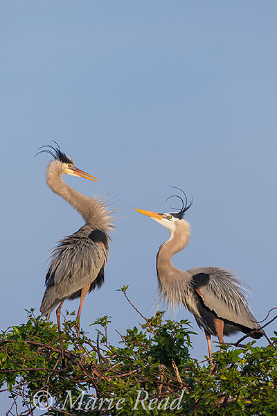 Great Blue Herons (Ardea herodias) pair interacting aggressively at nest site, Venice, Florida, USA