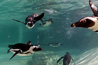 Penguins in the water seen through a porthole.<br /> Nine pairs of African Penguins, also known as the jackass penguin and black-footed penguin, were welcomed by Rome's biopark. <br /> Roma 27-12-2018 Bioparco <br /> Foto Andrea Staccioli / Insidefoto