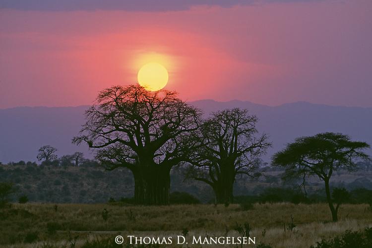 Sun setting behind Baobab trees in Tarangire National Park, Tanzania.