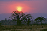 Sun setting behind Baobab trees in Tarangire National Park, Tanzania.