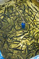 """France, Aquitaine, Pyrénées-Atlantiques, Pays Basque,   Saint-Jean-de-Luz :Au port de pêche   départ   du Thonier Canneur """"Aïrosa""""  pour la pêche au thon à la canne, appât  vivant (peïta), usuellemnet du chinchard ou de la sardine, pour la pêche au thon à la canne //  France, Pyrenees Atlantiques, Basque Country"""