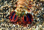 Mantis shrimp or stomatopods are aggressive and typically solitary sea creatures spending most of their time hiding in rock formations or burrowing in intricate passageways in the sea-bed. They either wait for prey to chance upon them or, unlike most crustaceans, actually hunt, chase and kill living prey. They rarely exit their homes except to feed and relocate.