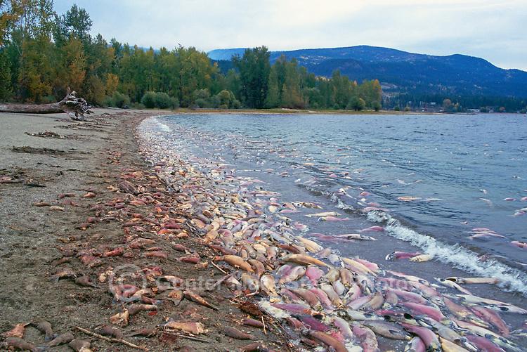 Annual Adams River Sockeye Salmon Run (Oncorhynchus nerka), Roderick Haig-Brown Provincial Park near Salmon Arm, BC, British Columbia, Canada - Dead Fish rotting along Shore of Shuswap Lake - note dead fish floating on water
