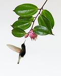 High Key Lighting - Black-bellied Hummingbirds