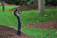 WASHINGTON DC, EUA, 08.10.2019 - TURISMO-WASHINGTON DC - Esquilo no National Mall,  na cidade de Washington DC, capital dos Estados Unidos, nesta terça-feira, 8. (Foto Charles Sholl/Brazil Photo Press/Folhapress)