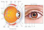 Biomedical illustrations showing the anatomy of the human eye from a sagittal (cut-away) view and an anterior (front) view. Labeled items on the eyeball include the cornea, iris, pupil, lens, sclera, ciliary zonular fibers, canal of Schlemm, bulbar conjunctiva, inferior rectus muscle, superior rectus muscle, inferior oblique muscle, macula (with fovea centralis) optic nerve, optic disc, retina, retinal vessels and caruncula lacrimalis, or lacrimal caruncle.