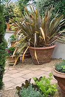 Phormium Sundowner in large container clay pot on patio