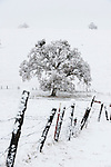 Snow covered oak and fence at a cattle ranch covered in winter snow in the Sierra Nevada Foothills of central Calif.