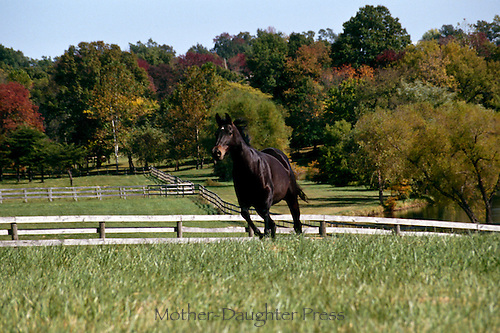 Horse running in paddock, Missouri USA