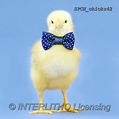 Xavier, EASTER, OSTERN, PASCUA, photos+++++,SPCHCHICKS42,#e#, EVERYDAY ,chicken