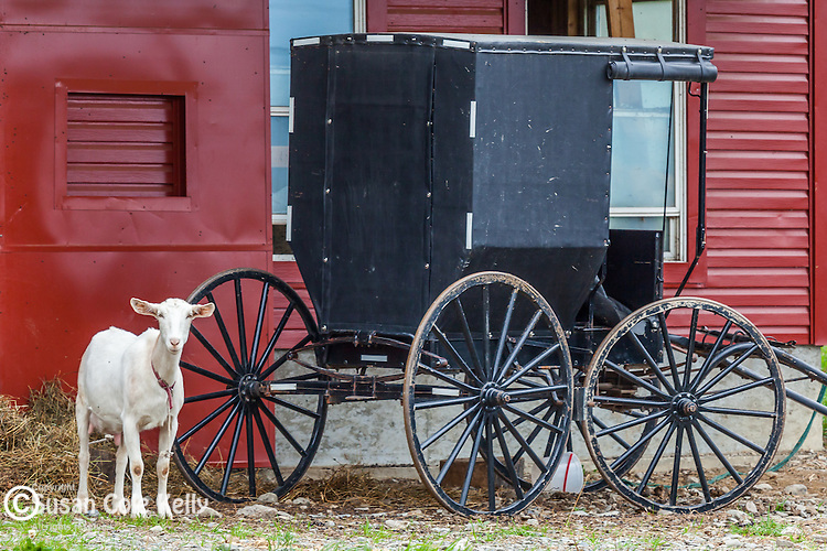 A goat and an Amish cart on a farm in Fort Fairfield, Maine, USA