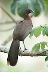 Grey Headed Chachalaca, Ortalis cinereiceps, Panama, Central America, Gamboa Reserve, Parque Nacional Soberania, perched in tree