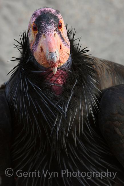 Mature male California Condor (Gymnogyps californianus) used for the captive breeding program to restore this critically endangered species. Idaho. February.