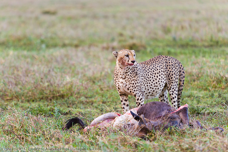 Cheetah, Serengeti National Park, Tanzania, East Africa