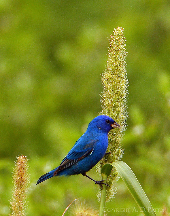 Adult male indigo bunting feeding on seed head in the dry Paradise Pond at Port Aransas