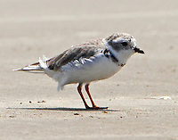 Piping plover in Sept.