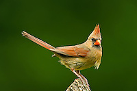 Female Northern Cardinal pearched on a stump.