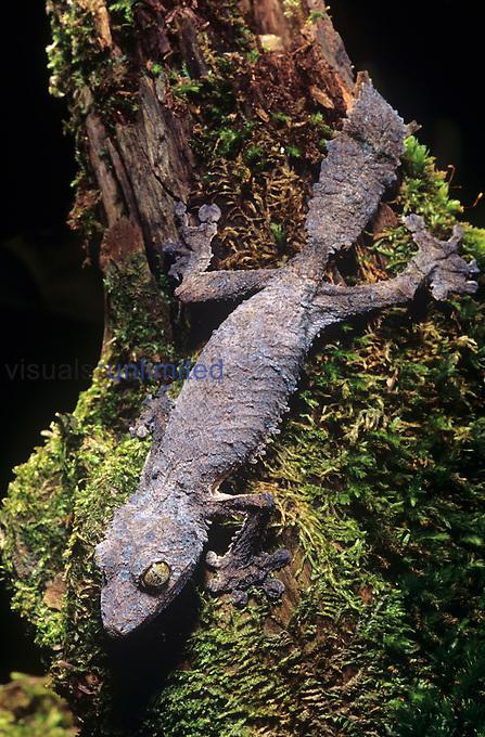 Mossy Leaf-tailed Gecko ,Uroplatus silkorae,, Madagascar.