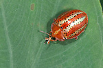 Tortoise Beetle, family Chrysomelidae, subfamily Hispinae, on leaf, Panama, Central America, Gamboa Reserve, Parque Nacional Soberania, orange and gold colours