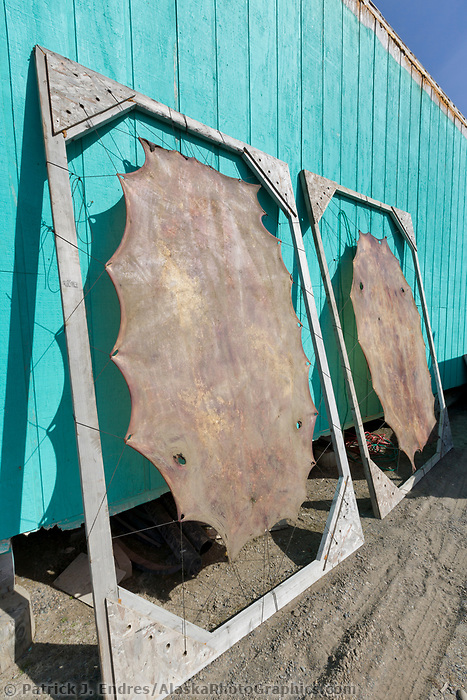 Seal skins dry on a stretcher in Utqiagvik (Barrow), Alaska.