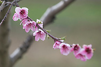 NWA Democrat-Gazette/J.T. WAMPLER Apple blossoms bloom on a tree at Vanzant Fruit Farms in Lowell Wednesday March 23, 2016. According to the National Weather Service there is a small chance of rain today ((THURSDAY)) but the rest of the week is should feature cold nights and warm days.