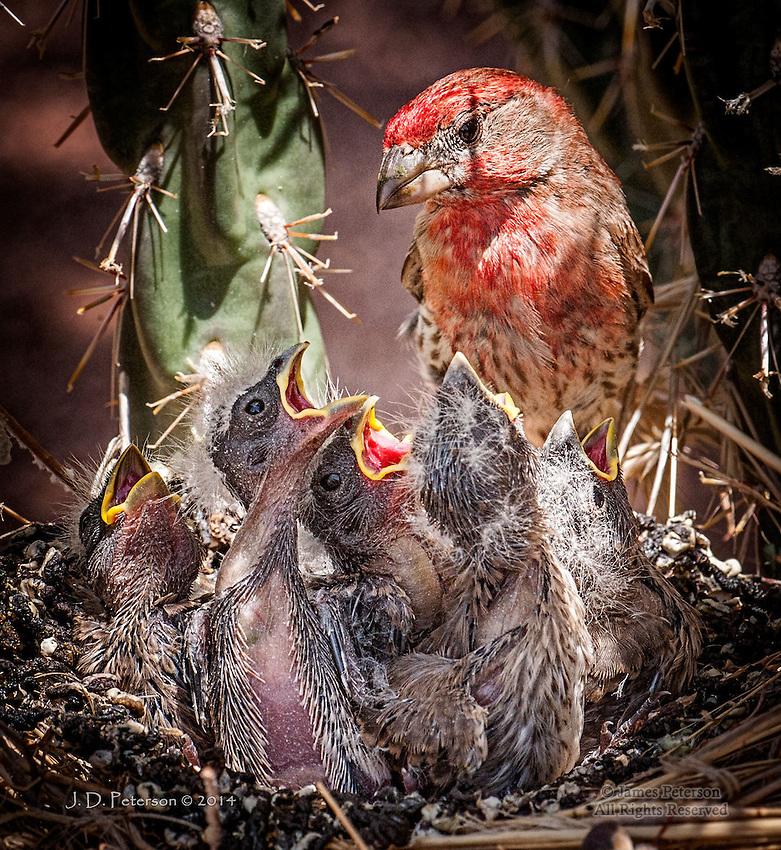 Feeding the Brood - House Finch Family