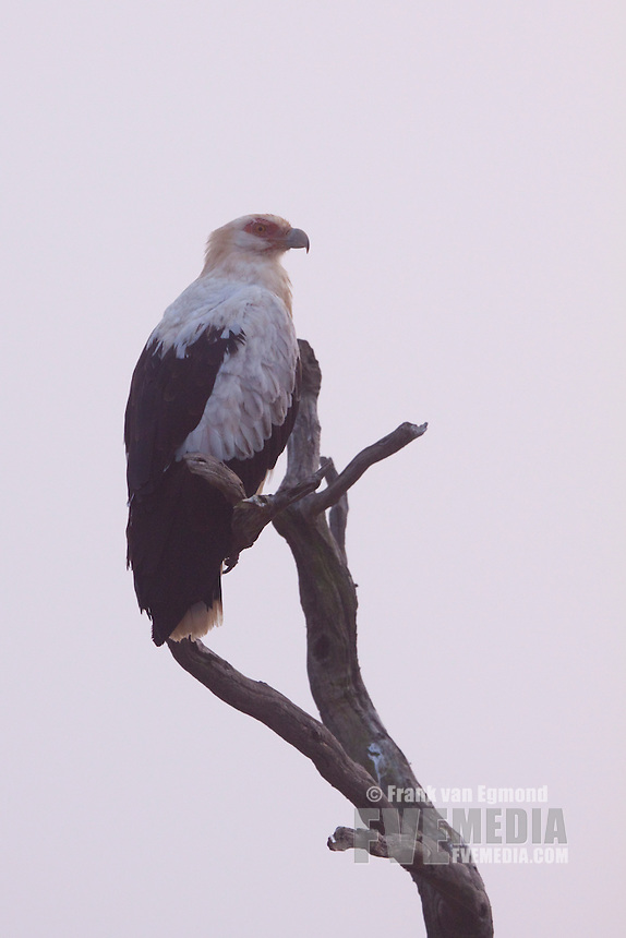 Palm-nut Vulture (Gypohierax Angolensis)..In the morning mist..May, Winter 2009..Ndumo Game Reserve, Kwazulu-Natal, South Africa.