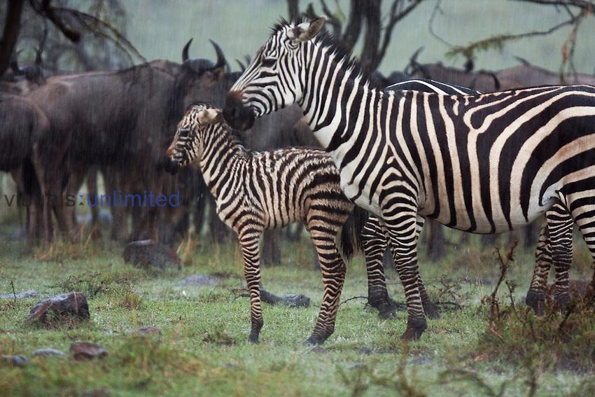 Plains Zebra (Equus quagga burchellii) and Wildebeest herd standing in the rain (Connochaetes taurinus). Maasai Mara National Reserve, Kenya.