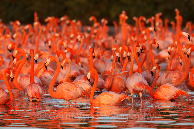 Adult American Flamingos (Phoenicopterus ruber) gathering to roost in the last light of the day. Celestun Biosphere Reserve, Mexico. February.
