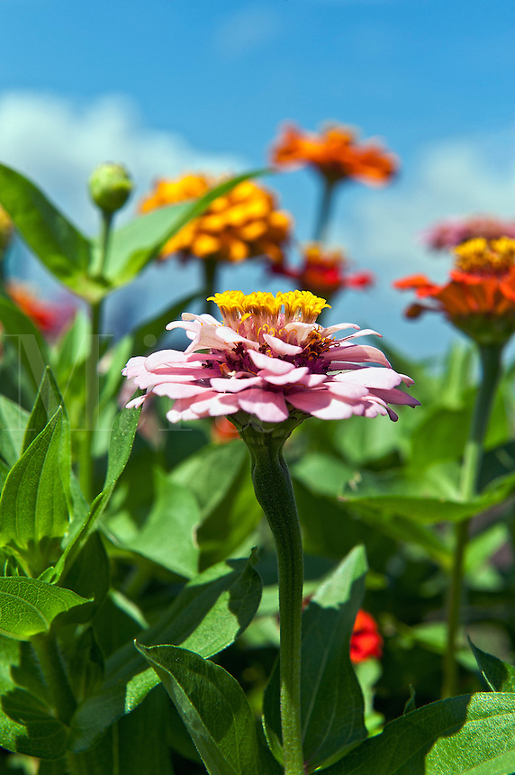 Zinnia flower in bloom, Asteraceae