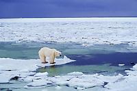 Polar bear (Ursus maritimus), Hudson Bay, Manitoba, November.