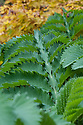"Melianthus major, mid October. Commonly known as Honey bush or Honey flower. ""[Christopher Lloyd's] favourite foliage plant, with impressive greyish, blue-green, pinnate foliage, subdivided into several bold obovate leaflets that are deeply serrated like a shark's teeth. These are clasped around grey-green stems, held in complex layers casting intricate shadows. Not completely hardy, it needs a deep nest of fern fronds to protect its roots. Two-year-old shoots will flower in the spring with dramatic spikes of bizarre, nectar-laden, chocolate-coloured, tubular blooms followed by green pods."" [Fergus Garrett, Great Dixter, Nurseryman's Favourites, Gardens Illustrated magazine, December 2013]"