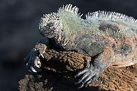 Marine Iguana Sunning