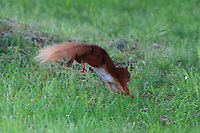 A red squirrel foraging for food during Round 4 of the Connacht Stroke Play Championship 2019 at Portumna Golf Club, Portumna, Co. Galway, Ireland. 09/06/19<br /> <br /> Picture: Thos Caffrey / Golffile<br /> <br /> All photos usage must carry mandatory copyright credit (© Golffile | Thos Caffrey)