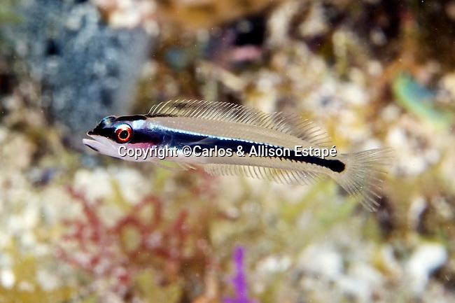 Hemiemblemaria simulus, Wrasse blenny, juvenile, Florida Keys