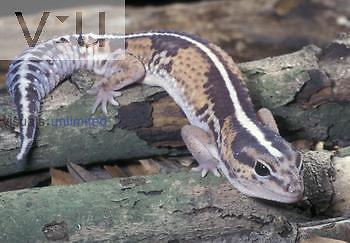 Fat-tailed Gecko ,Hemithiconyx caudicinctus,, Africa.